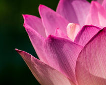 Awakening Lotus by Jon Woodhams