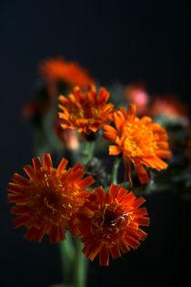 Orangerotes Habichtskraut von Heidrun Lutz