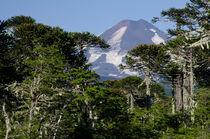 Llaima volcano and forest I von Víctor Suárez