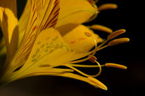 Inca lily and aphids by Víctor Suárez