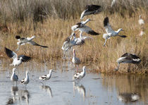 Avocets Take-off by John Bailey
