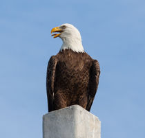 Eagle Cry by John Bailey