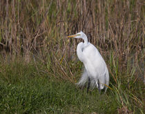 His Majesty The Great Egret von John Bailey