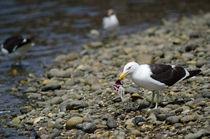 Kelp Gull VII von Víctor Suárez