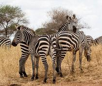 drei Zebras  von Andrea  Hergersberg