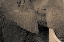 Elefantenkopf von Andrea  Hergersberg