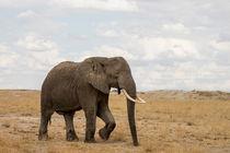 Elefantenbulle by Andrea  Hergersberg