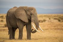 Elefantenbulle von Andrea  Hergersberg