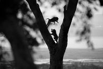 Streitende Affen im Baum von Andrea  Hergersberg