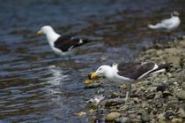 Kelp Gull III von Víctor Suárez
