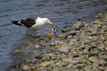 Kelp Gull II by Víctor Suárez