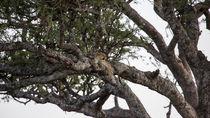 Leopard im Baum  von Andrea  Hergersberg