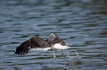 Kelp Gull by Víctor Suárez