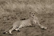 liegender Gepard (s/w) von Andrea  Hergersberg