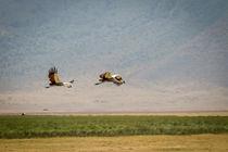 Kronenkraniche im Flug von Andrea  Hergersberg