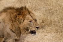 König der Tiere von Andrea  Hergersberg
