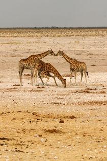 Küssende Giraffen von Andrea  Hergersberg
