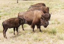 Bison Mom And Son von John Bailey