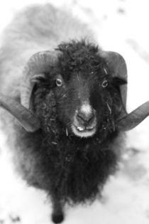 Das schwarze Schaf, schwarz weiss Fotografie by Kathleen Follert