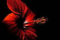 Hibiskusblüte by magique-digital
