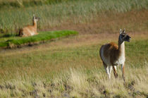 Female and cub of Guanaco III von Víctor Suárez