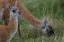Cub of Guanaco feeding by Víctor Suárez