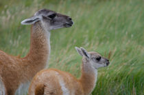 Female and cub of Guanaco by Víctor Suárez