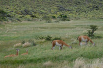 Females of Guanaco with cubs by Víctor Suárez