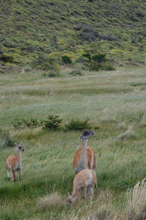 Female of Guanaco with cubs by Víctor Suárez