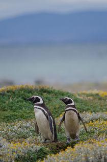 Magellanic Penguins XI by Víctor Suárez
