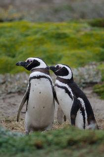 Magellanic Penguins IX by Víctor Suárez