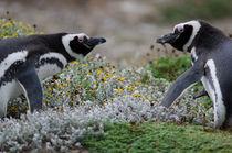 Magellanic Penguins VIII by Víctor Suárez