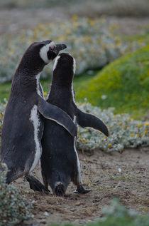Magellanic Penguins V by Víctor Suárez