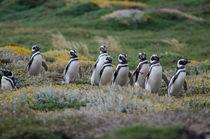 Magellanic Penguins III von Víctor Suárez