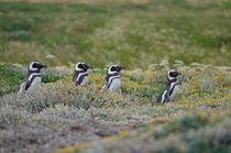 Magellanic Penguins II by Víctor Suárez