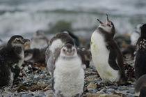 Magellanic Penguins juveniles II by Víctor Suárez