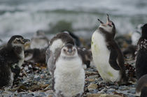 Magellanic Penguins juveniles II von Víctor Suárez