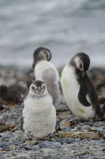Magellanic Penguins juveniles I von Víctor Suárez