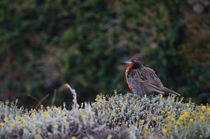 Long-tailed Meadowlark by Víctor Suárez