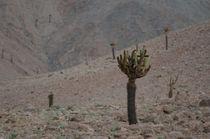 Cactus Candelabro II by Víctor Suárez