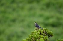 Band-tailed Sierra Finch male singing II by Víctor Suárez