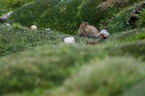 Bolivian Big-eared Mouse von Víctor Suárez