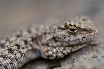 Lizard by Víctor Suárez