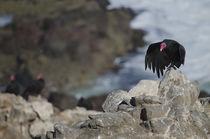 Turkey Vulture VI by Víctor Suárez