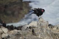 Turkey Vulture V by Víctor Suárez
