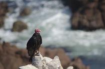 Turkey Vulture IV by Víctor Suárez