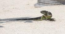 Day Of The Iguana by John Bailey