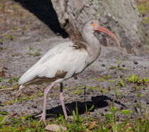Young Ibis Gazing Upwards by John Bailey