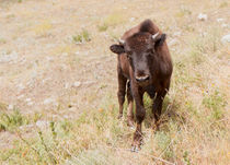 Curious Young Bison von John Bailey