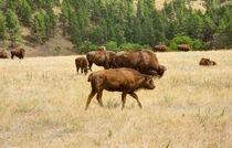 Families Of Bison von John Bailey
